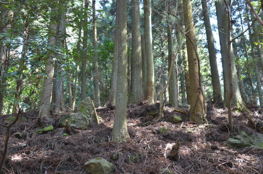 東峰村 人工林