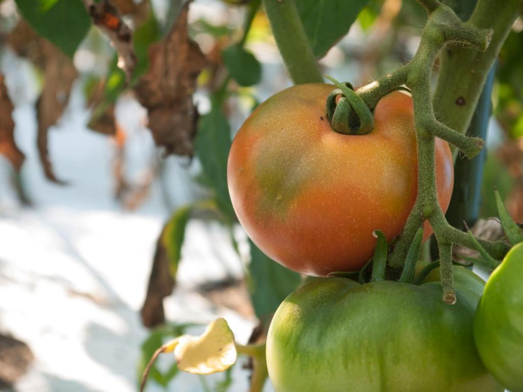 露地栽培のトマト